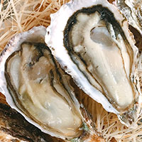 *Delivery* Romansu Claires Oyster No.2 x6