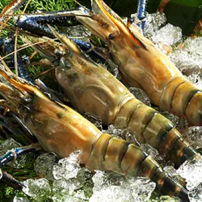 Vietnam Big Head Prawn